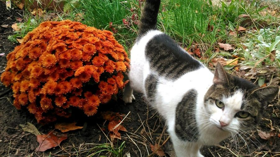 orange mums and a cute kitty Mums Mums Flowers Orange Flowers Orange Color Pet Portraits Flowering Plant Fall Colors Fall Autumn colors Garden Photography Garden Garden Flowers Pets High Angle View Close-up Grass Cat Domestic Cat Feline Tabby At Home Yellow Eyes Kitten