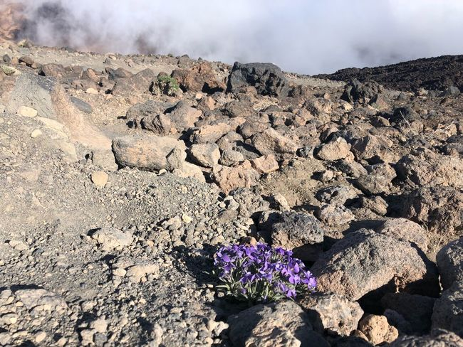 Teide National Park 🇪🇸 Volcano Teide SPAIN Tenerife Nofilter Teide National Park Nature Land Flower Day Beauty In Nature Flowering Plant Sunlight Plant Cloud - Sky Outdoors Desert Geology Rock