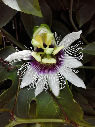 Flower of the Passion Fruit