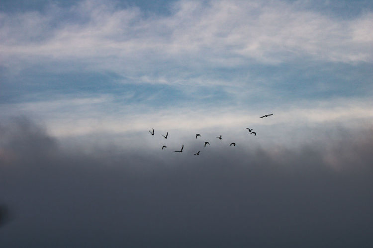 Taubenflug am