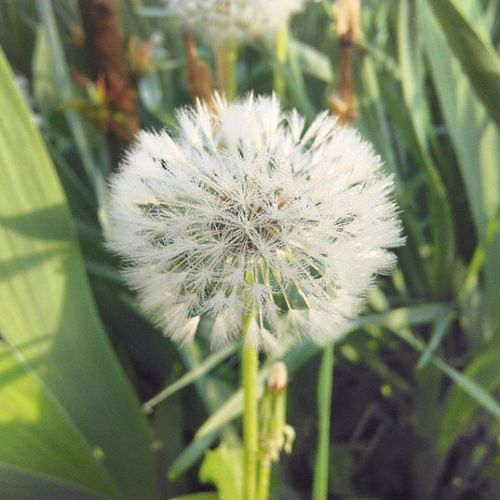 Nofilter Garden Flower Dandelion Morning Phone_o_grapher Photography