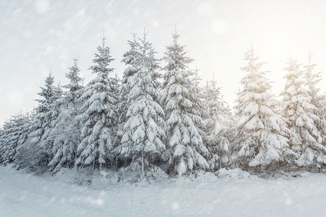 Winter wonderland landscape christmas trees with snow Celebration Christmas Xmas Beauty In Nature Christmas Decoration Christmas Tree Cold Temperature Day Frozen Holiday - Event Landscape Nature No People Outdoors Pine Tree Scenics Snow Snowing Tranquil Scene Tranquility Tree Weather White Color Winter Winter Wonderland