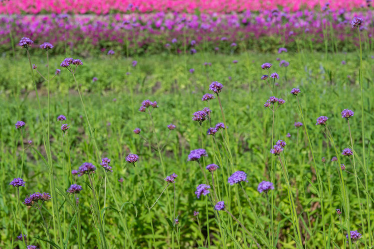 Alternative Medicine Beauty Beauty In Nature Botany Field Flower Flower Head Flowerbed Freshness Grass Green Color Growth Herb Herbal Medicine Living Organism Multi Colored Nature No People Outdoors Pink Color Plant Purple Summer Uncultivated Wildflower