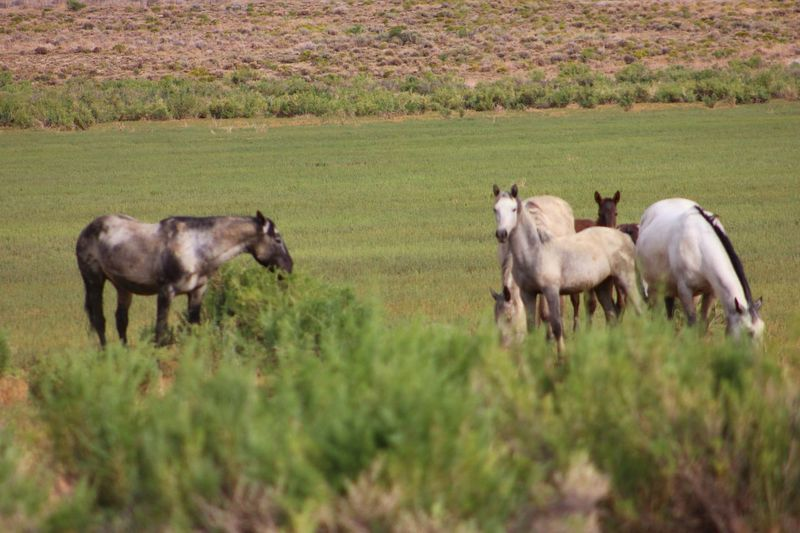 Wild Horses Wild Animal Wyoming Landscape Way Of Life Animal Themes Agriculture Livestock Nature Rural Scene No People