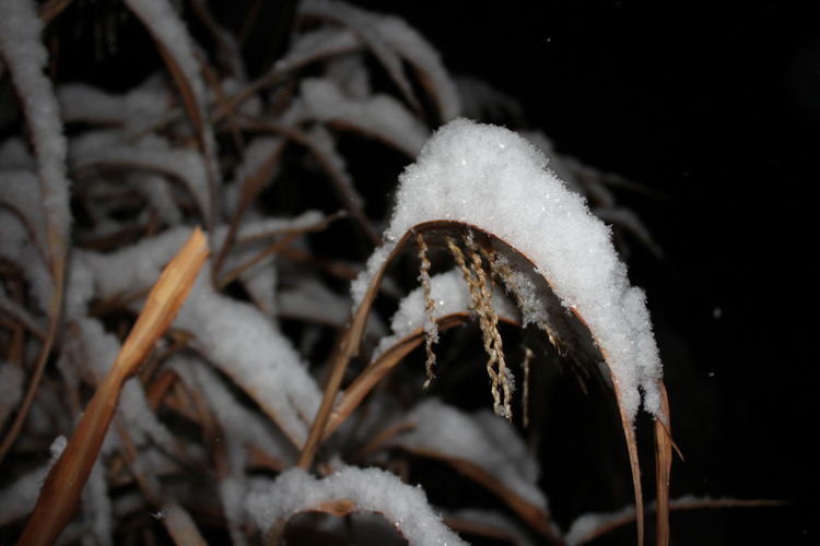 Beauty In Nature Close-up Cold Temperature Frozen Growth Nature Night No People Outdoors Plant Snow White Color Winter