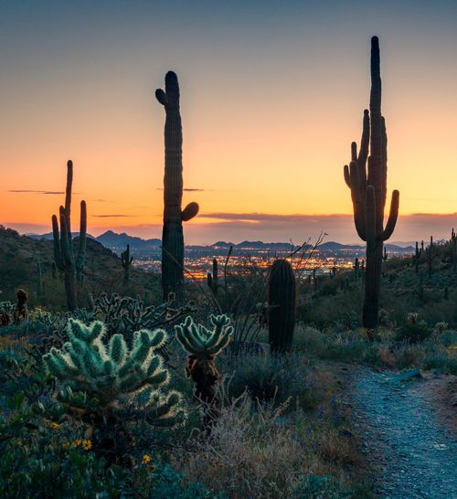 Saguaro cactus growing on field against sky during sunset with city background
