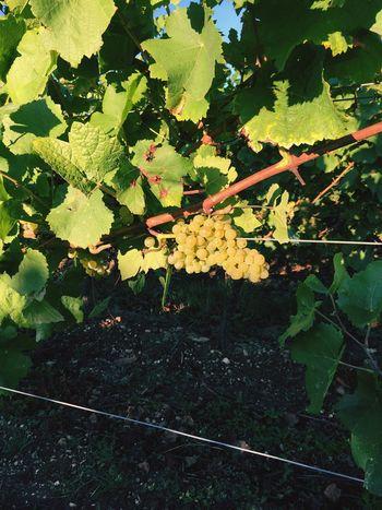 Winegrapes Wineyard Wine Country GERMANY🇩🇪DEUTSCHERLAND@ Rheingau Wine Grape Germany Vine