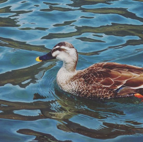 Duck swimming in lake