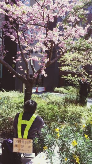 桜 Sunnyday