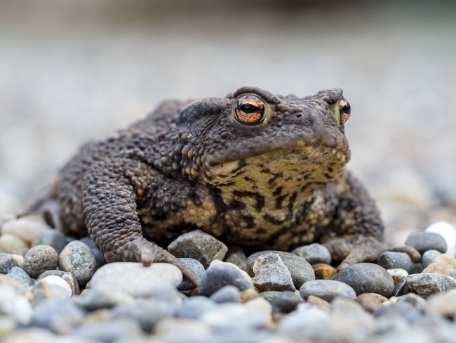 Along The Way Marierichphotography Olympus Toad Animal Themes Animal Wildlife Animals In The Wild Beauty In Nature Close-up Day Iguana Mammal Nature No People On Stones One Animal Outdoors Pebble Reptile Rock - Object Selective Focus Toad Photography Toad Portrait Water