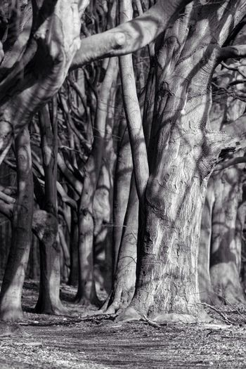 Tree Tree Trunk Nature Growth Day Outdoors No People Spreading Beauty In Nature Low Section Monochrome Blackandwhite Black And White B&W Magic