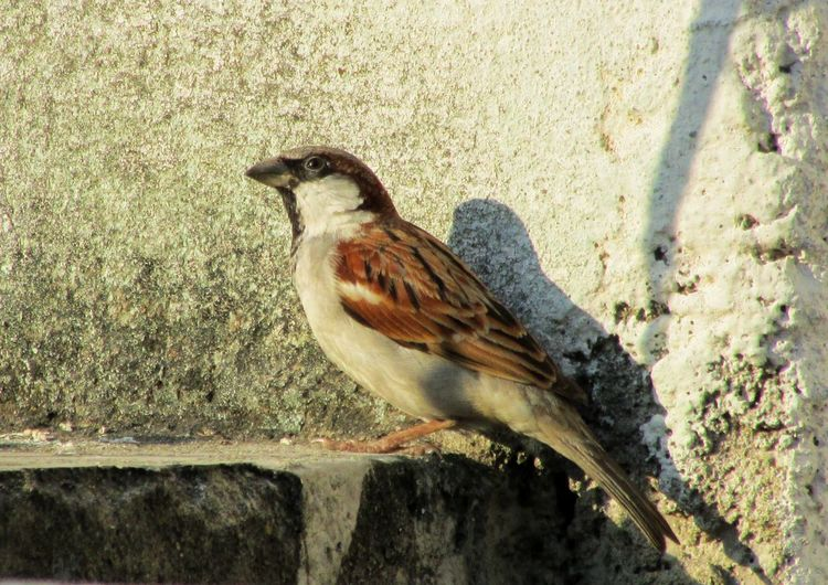 Animal Themes One Animal Animals In The Wild Bird Day Animal Wildlife No People Outdoors Sunlight Sparrow Nature