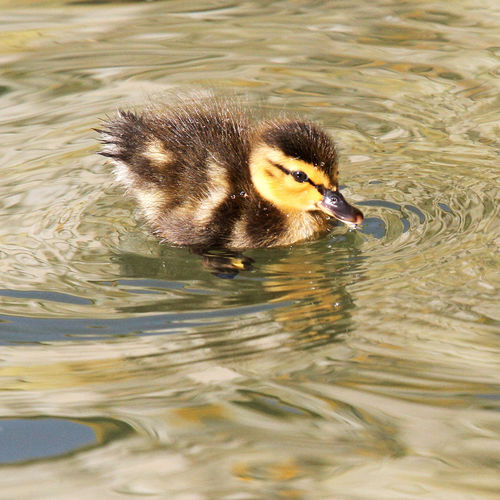 Cute little duckling with golden ripples Animal Themes Animal Wildlife Animals In The Wild Baby Bird Baby Duck Bird Close-up Cute Cats Cute Duckling Day Duckling Duckling In Water Duckling With Ri Lake Nature No People One Animal Outdoors Spring Animal Swimming Water Waterfront Wildlife