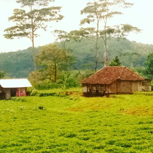 Indo farm Cellularphotography Meizuindonesia Meizuphoto Meizum3s Indonesiabanget Trawas Mountain Rural Scene Agriculture Field Hut Grass Sky Architecture Rice Paddy Stilt House