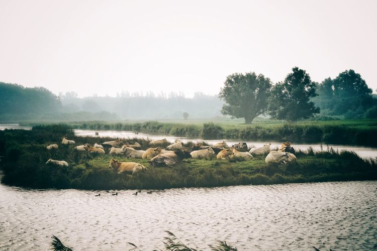 Cows in the morning mist