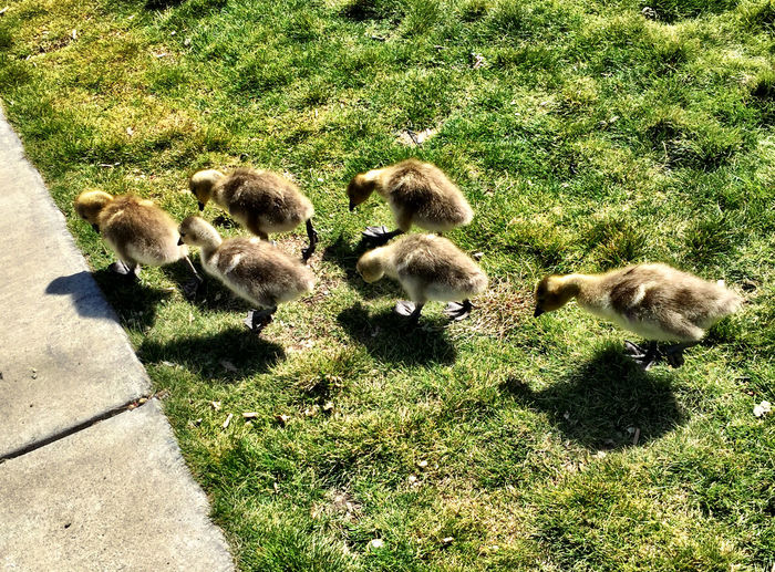 """Six Pack of Goslings"" Animals Geese Nature EyeEm Nature Lover"