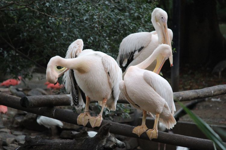 Group of Pelicans Travel India Mysore Zoo Mysore Zoo Incredible India Animals In The Wild Travel Destinations Karnataka Bird Pelican Animal Themes Animal Group Of Animals Bird Vertebrate Animal Wildlife EyeEmNewHere Animals In The Wild White Color Nature