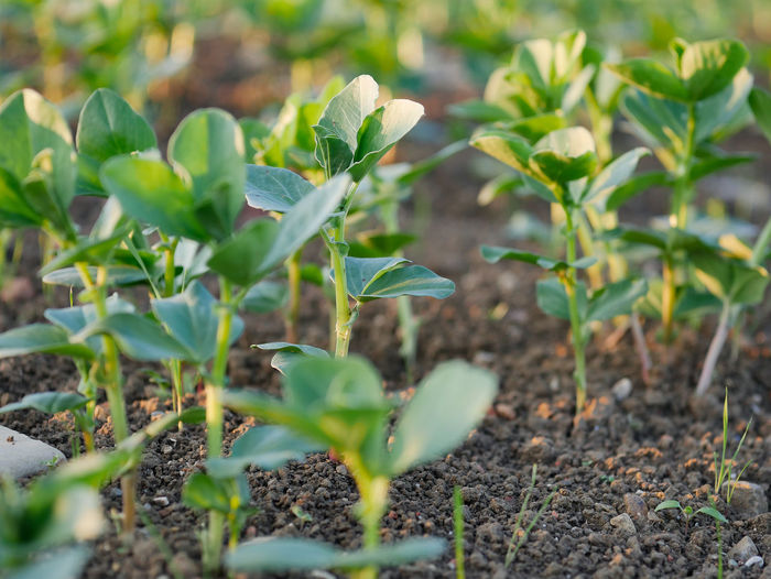 Growth Leaf Plant Part Plant Green Color Nature Beauty In Nature Field Land Day No People Selective Focus Beginnings Freshness Tranquility Outdoors Close-up Vulnerability  Focus On Foreground Fragility Plantation Fava Beans