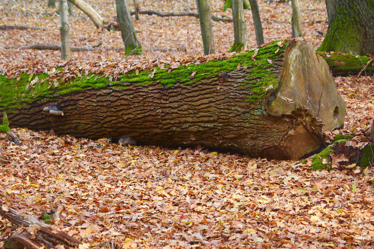 Autumn leaves on tree trunk in forest