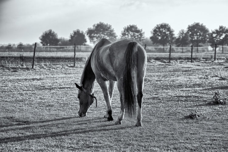 Lonely horse in B&W Mammal Domestic Animals Animal Themes Animal Livestock Domestic Field Pets Vertebrate Land Horse Plant Agriculture Animal Wildlife Grazing Grass Tree Nature Landscape No People Herbivorous Outdoors Paddock