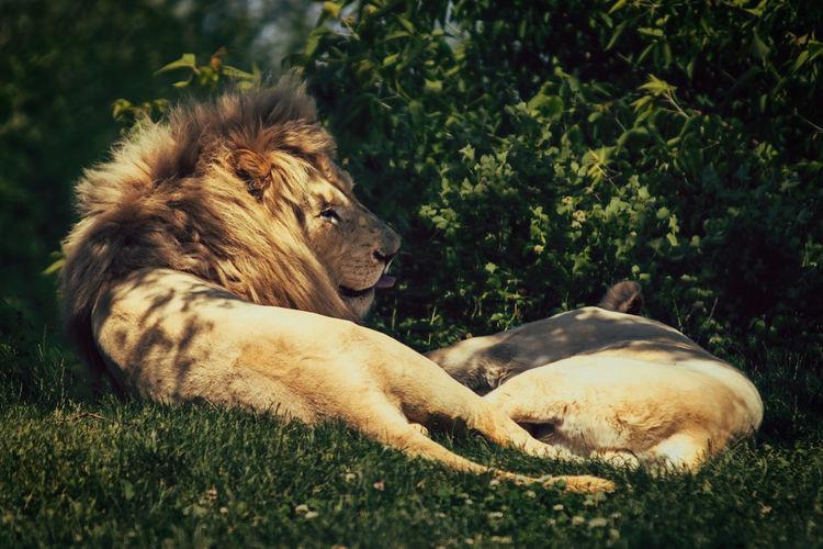 Lion sticks his
