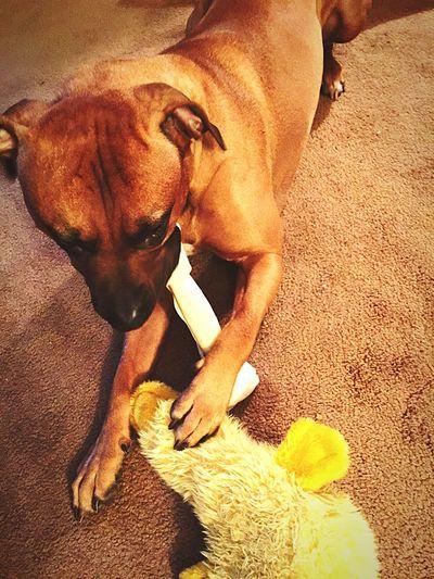 Iphone6plus Pitbull Friend Blessvanuatu Duck Bone  This Is One Happy Puppy Loving Life !
