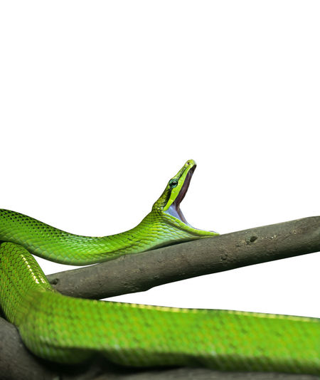 Red-Tailed Green Ratsnake Yawning Isolated on White Background with Clipping Path Reptile Green Color Copy Space Studio Shot No People One Animal Close-up White Background Animal Animal Themes Animal Wildlife Vertebrate Animals In The Wild Snake Nature Yawning Red-tailed Green Ratsnake Rat Snake Ratsnake Danger Dangerous Dangerous Animals Crawling Non-venomous Green Snake