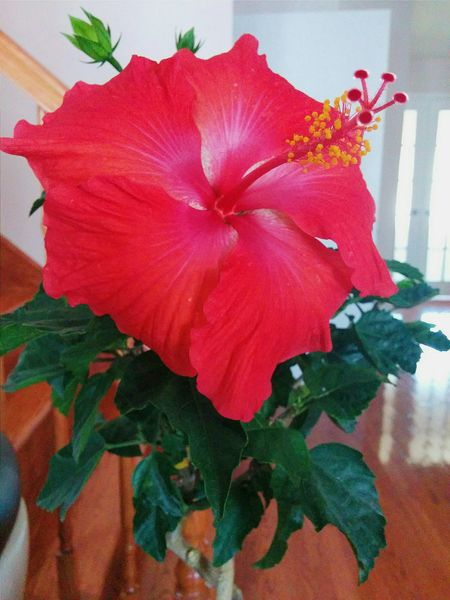 Redflowerpower RedFlower Beautiful Summerflower Hibiscus Flower Hibiscus 🌺