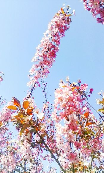 Millennial Pink Clear Sky Beauty In Nature Outdoors Tree TeresaMorais