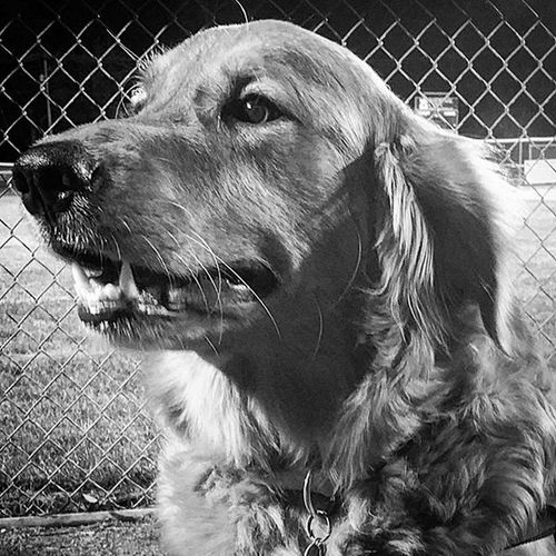 Chase at baseball Pennsylvania Goldenretrievers Dog Pennridgelittleleague Fallball Gooddog Blackandwhite Underthelights