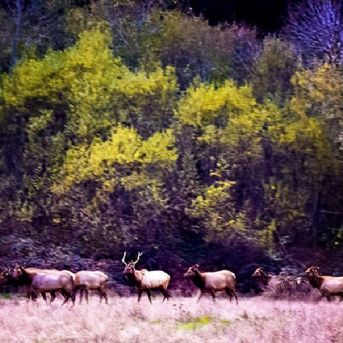 Shaky cam...these Elk were at a distance and it was dark. You can see these in Capay Valley and Northcoastca during the Winter . Animal Nature Herd Wildlife Landscape
