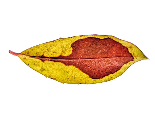 Abstract Autumn Botanical Botany Brown Change Close-up Cut Out Fragility Leaf Leaves Live Oak Macro Macro Photography Nature White Background Yellow