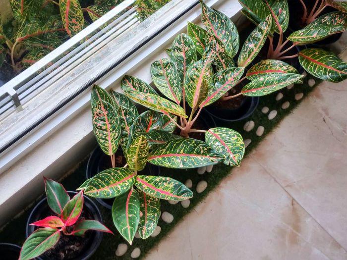 Ornamental plant for indoor decoration