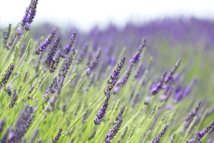 'Lavender VII'