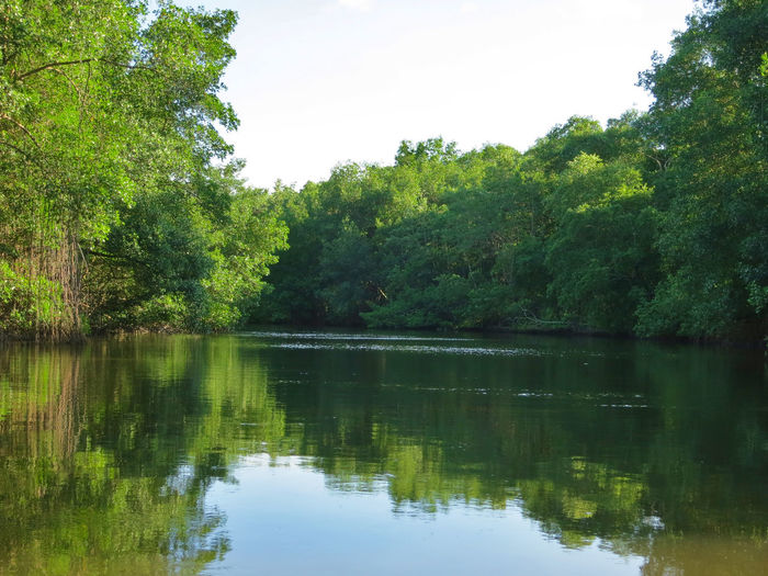 Tree Lake Reflection Water Plant Tranquility Tranquil Scene Beauty In Nature Sky Green Color Scenics - Nature Nature Growth No People Day Non-urban Scene Forest Waterfront Idyllic Outdoors Swamp Mangrove Caroni Swamp Trinidad Boat Ride