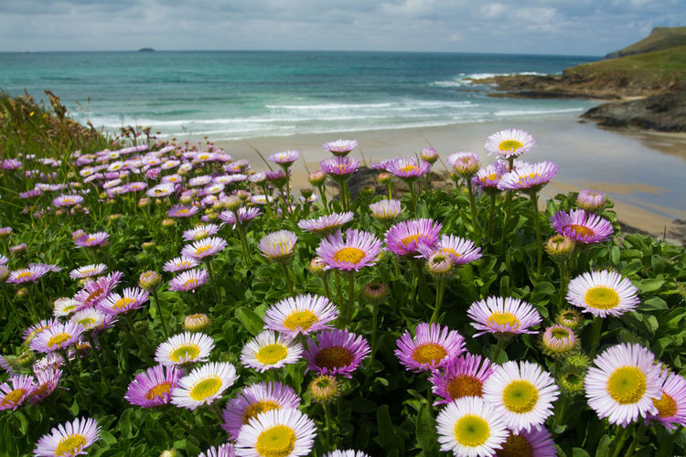 Pink daisies blossoming on high clifftops overlooking a coastal scene with beach and ocean in the background in Cornwall, UK. Beach Beauty In Nature Bloom Blooming Cliff Cliffs Cliffside Coast Coastal Coastline Cornwall Cornwall Beach Cornwall Uk Cornwall Walks Flower Flowers Flowers,Plants & Garden Horizon Over Water Nature Nature Scenics Sea Tranquil Scene Water Wildflowers