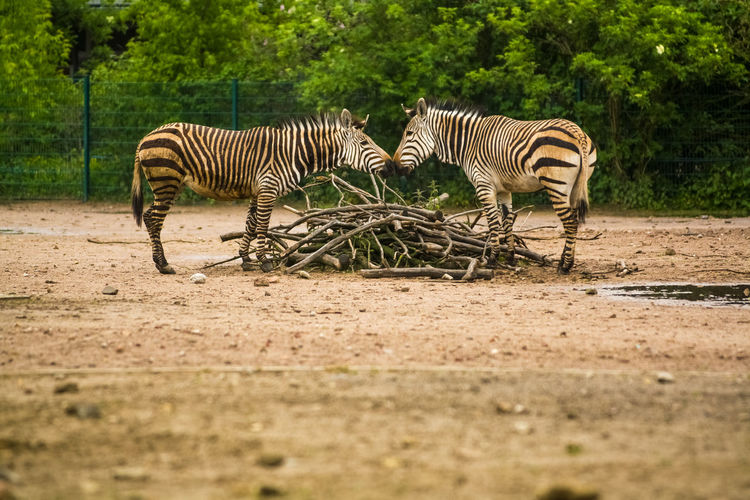 Animal Themes Animal Group Of Animals Mammal Zebra Striped Animal Wildlife Animals In The Wild Vertebrate Plant Tree Nature No People Safari Two Animals Land Field Day Selective Focus Herbivorous Animal Family Dust Surface Level