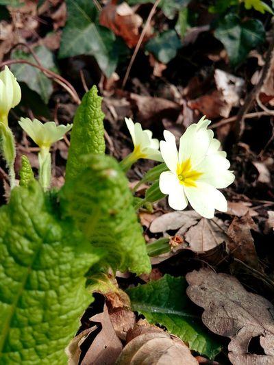 Beauty Nature Nature Printemps Jaune🌻 Jaune Beauty In Nature Yellow Yellow Flower Primevère Fleur Fleurs Fleur ♡ Flower Head Flower Leaf Close-up Plant Green Color Plant Part Botany Plant Life Pistil