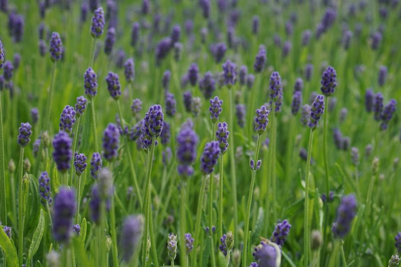 Breeze Lavenderflower Plant Growth Flower Flowering Plant Beauty In Nature Field Land Fragility Green Color Lavender Freshness Nature Purple