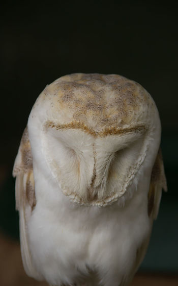 Animal Head  Barn Owl Beauty In Nature Black Background Close-up Contemplation Looking Down Nature Owl Sad Softness White White Color
