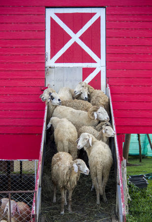 Flock of sheep standing at the entrance of sheep barn Agriculture Barn Farm Farm Life Farm Animals Farmhouse Pasture Animal Themes Animals Barn Door Barnyard Domestic Animals Ewe Flock Of Sheep Herd Of Sheep Husbandry Livestock Mammal Pet Pets Rams Sheep Sheep Farm Sheperd Togetherness