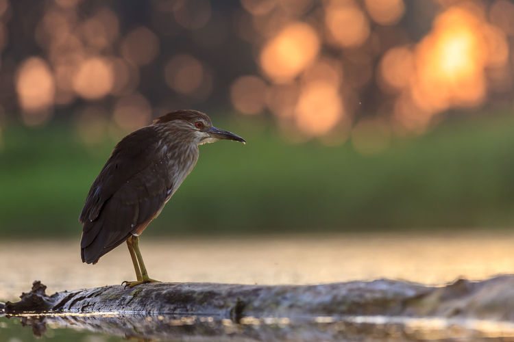 A young night heron positioning itself for breakfast in the first rays of sunlight. One Animal Animal Themes Animal Wildlife Animals In The Wild Animal Focus On Foreground Bird Vertebrate Perching Day No People Nature Full Length Selective Focus Wood - Material Close-up Outdoors Sunlight Side View Tree Night Heron Hungary Sunrise Water Orange Color