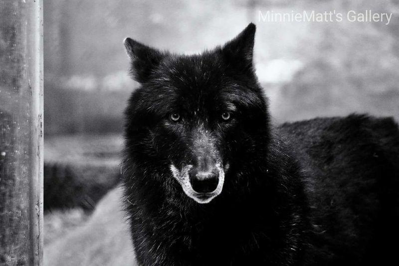 Animal Black Color Wolf Wildlife Photography Wildlife & Nature Blackandwhite Blackandwhite Photography Canon 70d Canonphotography Nature Photography Landscape_photography Bristishcolumbia Bristish Columbia Wolf