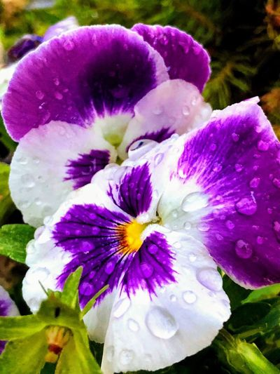 Rain on the flowers Flowering Plant Flower Plant Petal Vulnerability  Inflorescence Fragility Purple No People Growth Freshness Beauty In Nature Flower Head Day Nature Blossom Close-up Pollen Outdoors Springtime