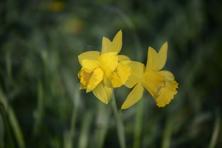 Multiple daffodils Muktiple Exposure Daffodils Flower Yellow Nature Plant Growth Beauty In Nature Petal Outdoors Fragility No People Day Close-up Leaf Blooming Freshness Flower Head