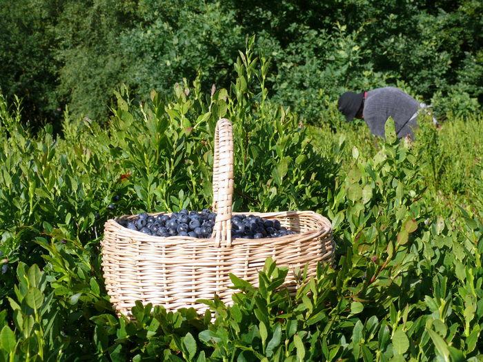 Basket Beauty In Nature Beeren Billberries Blaubeeren Blueberries Day Grass Green Color Growth Heidelbeeren Heidelbeerernte Nature No People Outdoors Sammeln Sammler Tree