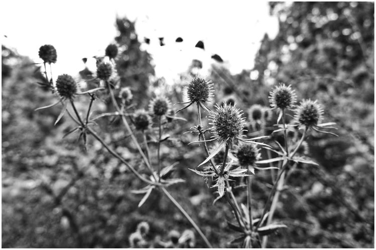 Botanical Garden | Growth Plant Nature Focus On Foreground Flower Outdoors Thistle Close-up Flower Head Flowers, Nature And Beauty Schwarz & Weiß Bnw_collection Blackandwhite Photography Flower Black And White Natur Beauty In Nature Flowers_collection Blumen Blume Black And White Distel Schwarzweiß