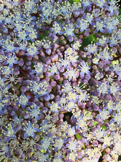 紫陽花の花満開です 紫陽花 Nature_collection Flower EyeEm Flower Flowerporn Plants