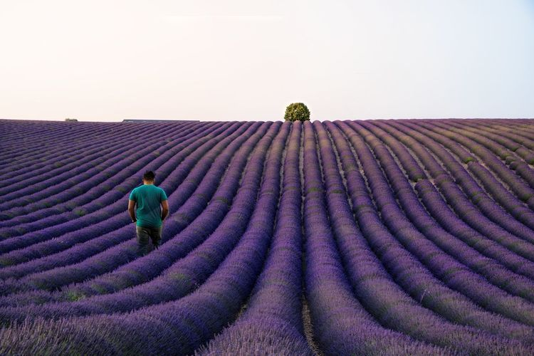 Full length of man standing in lavender field against clear sky