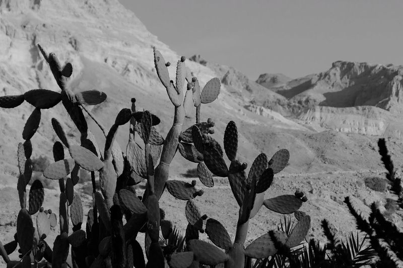 Cacti Growing In Desert Against Mountains